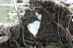 Swamp Hearts. Uprooted tree in a swamp that has the shape of a heart in it Royalty Free Stock Image