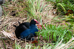 Swamp hen Stock Images