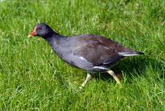 Swamp hen Royalty Free Stock Photo
