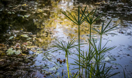 Swamp Herbs. A detail of a swamp with vegetation Royalty Free Stock Images