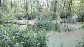 Swamp. In the Herodotus's forest Stock Photos
