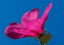 Swamp Hibiscus, Pink, Flower Stock Image
