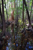 Swamp on Hinchinbrook Island. Hinchinbrook Island in north Queensland, Australia, is a haven for bushwalkers. The Thorsborne Track is a 32km trail through Royalty Free Stock Image