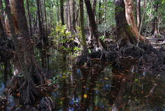 Swamp on Hinchinbrook Island. Hinchinbrook Island in north Queensland, Australia, is a haven for bushwalkers. The Thorsborne Track is a 32km trail through Stock Photography