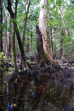 Swamp on Hinchinbrook Island. Hinchinbrook Island in north Queensland, Australia, is a haven for bushwalkers. The Thorsborne Track is a 32km trail through Royalty Free Stock Photography