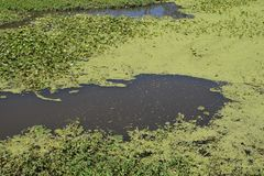 Swamp, hot summer day landscape swamps. Different backgrounds Royalty Free Stock Photography