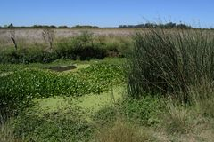 Swamp, hot summer day landscape swamps. Different backgrounds , field in the distance Royalty Free Stock Photo