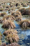 Swamp with hummocks Stock Image