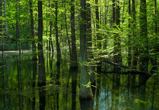Free Swamp In The Forest Stock Image - 19423351