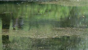 Swamp in the jungle. Water blooms. stock footage