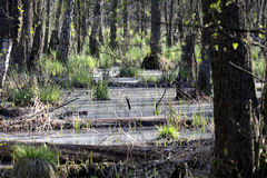 Swamp of Kampinos National Park Stock Image