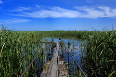Swamp,lake, reeds, blue sky stock photography