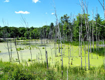 Swamp Land. A small swamp at the side of the road in Pennsylvania Royalty Free Stock Image