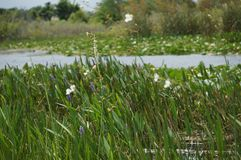 White swamp flowers Stock Images