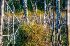 Swamp landscape. Swamp marsh lake and tree stumps Stock Photo