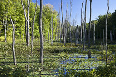 Swamp in Late Afternoon Royalty Free Stock Photography