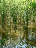 Swamp. Lbrown swamp with nice green plants Stock Photos
