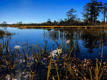 Swamps in autumn. Swamp lilies and reflections of the trees in a river royalty free stock photo