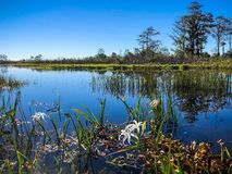 White swamp flowers in the river. Swamp lilies and reflections of the trees in a river stock image