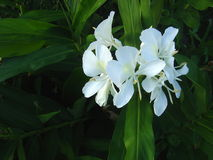 Swamp Lilies. White wild lillies (Hedychium coronarium) that grow in damp areas, native of Asia Royalty Free Stock Image
