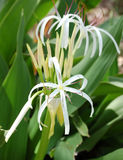 Swamp Lily. The fragrant Swamp Lily is native to Florida stock photos