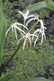 Swamp Lily Royalty Free Stock Photos
