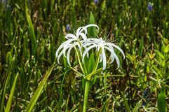 white swamp flowers royalty free stock image