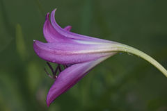Swamp lily flower. Swamp lily (Crinum x powellii). Hybrid between Crinum bulbispermum and Crunum moorei. Close up image of flower stock photography