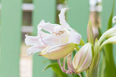 Swamp Lily flower. River Lily, Spider Lily, Swamp Lily, Poison Bulb flower on green bokeh background stock images