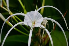 Swamp Lily flower in Southeast Asia. Swamp Lily flower in Southeast Asia, Cambodia. Photo was taken in closeup stock photo