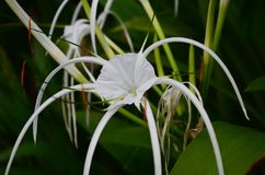 Swamp Lily flower in Southeast Asia. Swamp Lily flower in Southeast Asia, Cambodia. Photo was taken in closeup royalty free stock photo