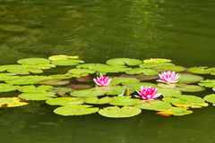 Swamp lily and green leaves, lotus Royalty Free Stock Image