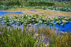 lily pads pond stock photos
