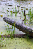 Swamp Log Royalty Free Stock Image