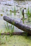 Swamp Log. A cut fallen log lays in a swampy bog in Lapeer, Michigan Royalty Free Stock Image