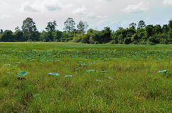 Swamp with lotuses Royalty Free Stock Photos
