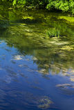 Swamp. Lush green swamp with trees, leaves, logs, and algae Stock Photos