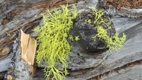Swamp Mans proof of existence. A piece of proof of moss from the swamp mans skin in Montana stock image