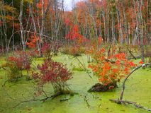 Swamp maples Royalty Free Stock Images