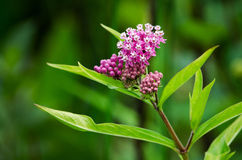 Swamp milkweed. A close up of the beautiful pink swamp milkweed, often found in boggy wet areas in Michigan. the common name, pleurisy root, was a favorite for royalty free stock photography