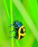 Swamp Milkweed Beetle Royalty Free Stock Images