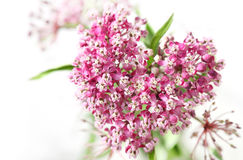 Swamp Milkweed Flower Royalty Free Stock Photo