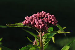 Swamp Milkweed Wildflower. (Asclepias incarnata) Wildflower, Close-up stock photos