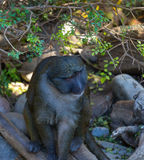 Swamp Monkey Royalty Free Stock Photos