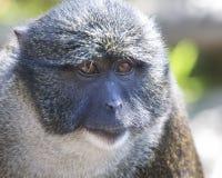 Swamp Monkey. Allens Swamp Monkey close-up headshot Royalty Free Stock Photography