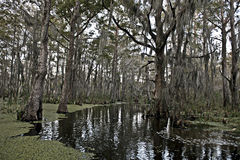 Swamp near New Orleans, Louisiana Royalty Free Stock Photo