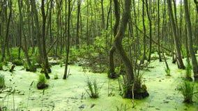 Swamp, near Prerow Royalty Free Stock Image