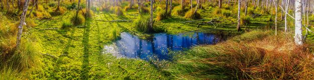 Swamp panorama. Royalty Free Stock Photo