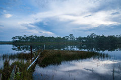 Swamp and pine background Stock Photography