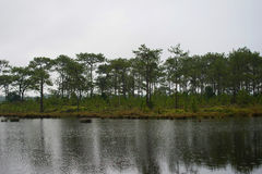 Swamp and pine background Royalty Free Stock Images